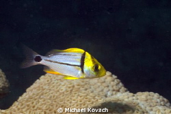Juvenile Porkfish on the Big Coral Knoll off the beach at... by Michael Kovach 